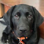 Black labrador puppy Raja