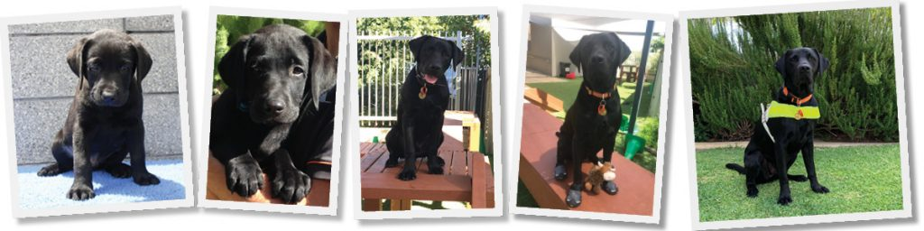 Five photos of Guide Dog Loui from 6 weeks of age through to Loui as a working Guide Dog in harness.
