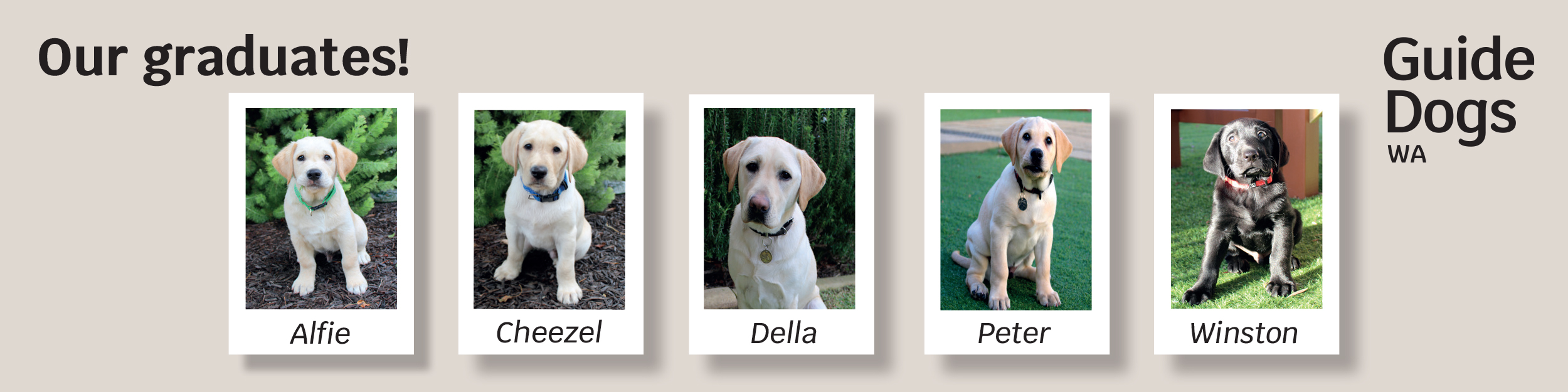 Text; Our graduates with 5 photos of graduating Guide Dogs when they were very young pups.
