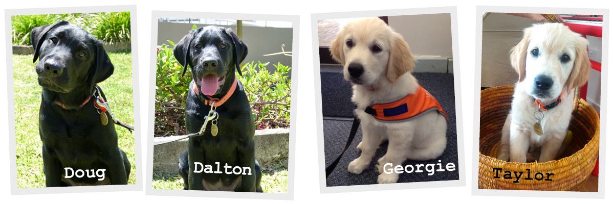 4 puppies - Black labradors Dalton and Doug. And Golden retrievers Georgie and Taylor