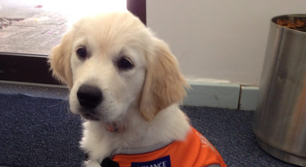 Golden retriever puppy sits wearing an orange coat.