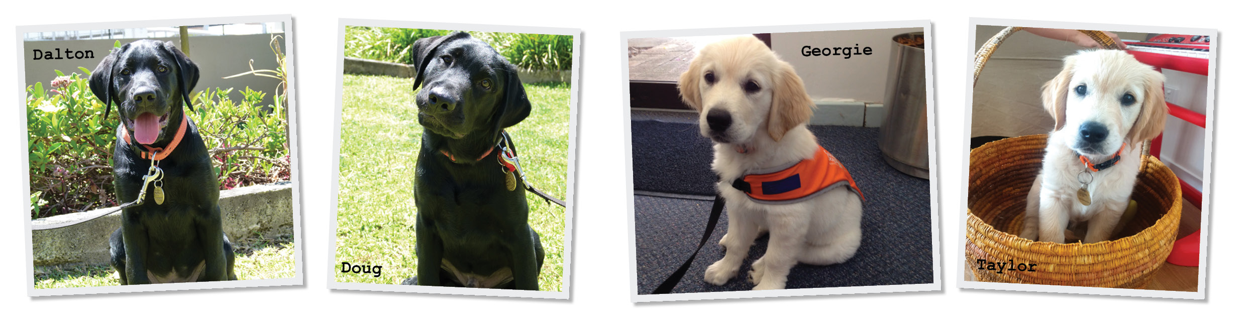 4 photos with captions. Black labrador puppy Dalton and his sibling Doug. Golden retriever puppy Georgie and her brother Taylor.