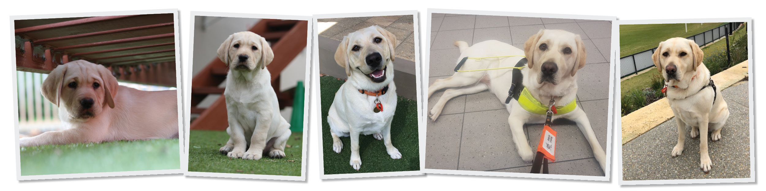 Montage of 5 photos of yellow labrador from 8 week old puppy to Guide Dog in brown harness