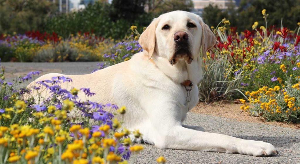Yellow labrador laying down among flowers