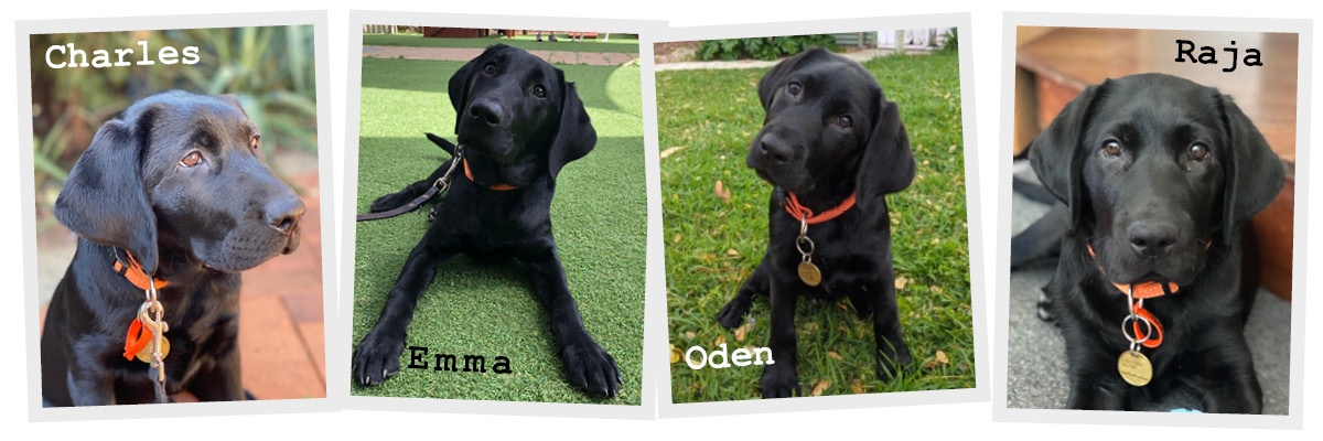 4 black labrador puppies - Charles, Emma, Oden and Raja