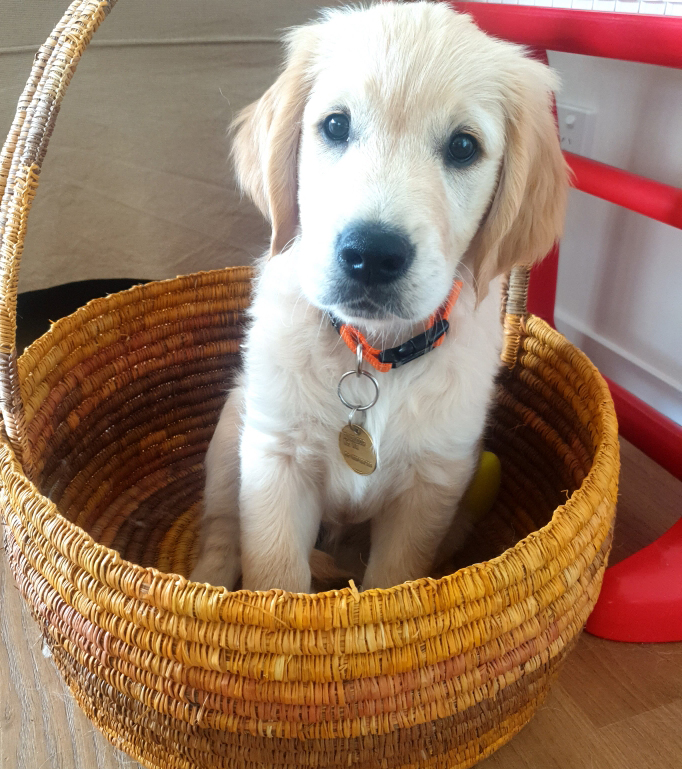 Golden retriever puppy Taylor sits in a basket