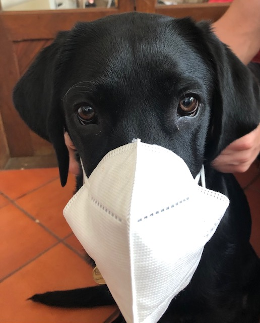 Close up of a labrador puppy wearing a white COVID-safe surgical mask.
