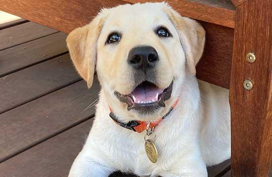 Yellow puppy in training Anika