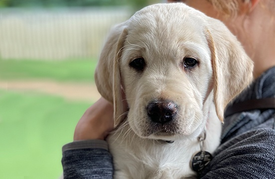 Image of yellow puppy