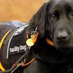 Black Labrador dog wearing a coat that reads Facility Dog, Guide Dogs WA logo.