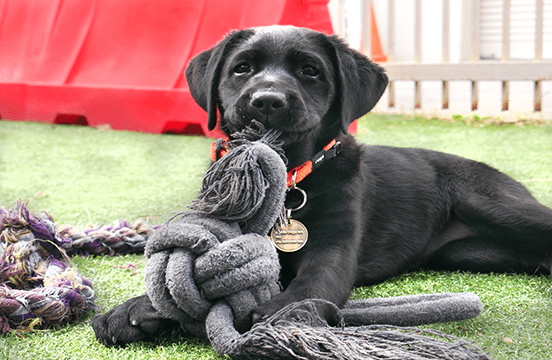 Black puppy playing with toy on grass.