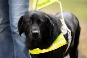 Black Guide  Dog in harness.