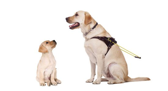 Yellow labrador puppy looks up to yellow labrador dog in Guide Dog training harness