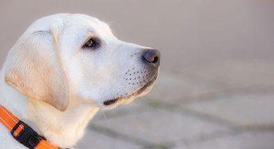 Yellow labrador pup